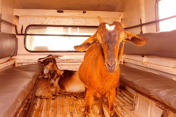 Goat Rearing as an Income Generating Activity