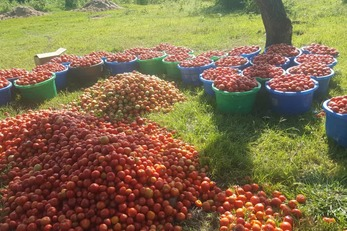 Turning Tomatoes into Gold